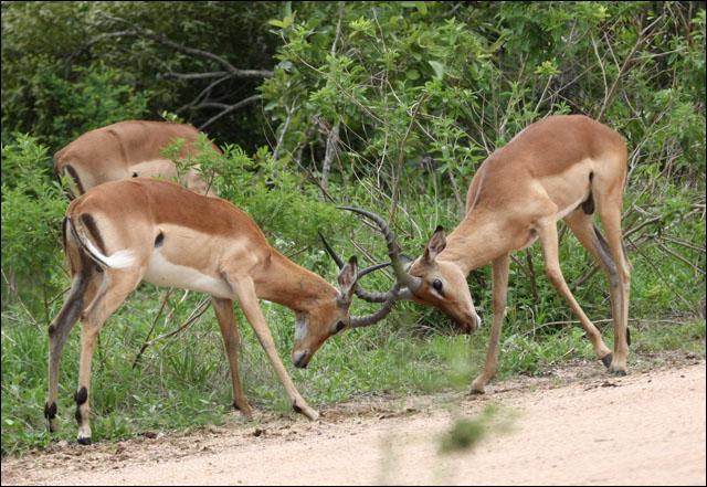 bucksfighting